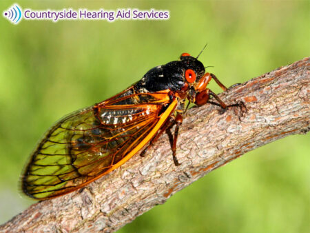 Cicada's Sounds Are Problematic For People With Hearing Loss